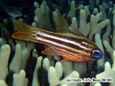 ヒラテンジクダイ/Apogon compressus/Blue-eyed cardinalfish