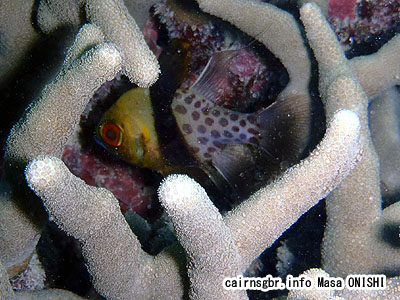 マンジュウイシモチ/Sphaeramia nematoptera/Pajama cardinalfish