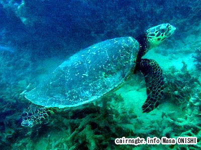 タイマイ/Eretmochelys imbricata/Hawksbill turtle