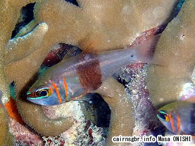 クロオビアトヒキテンジクダイ/Archamia zosterophora/Blackbelted cardinalfish