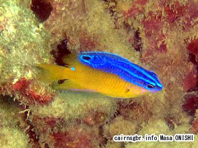 ブルースポットダムゼル/Pomacentrus grammorhynchus/bluespot damsel