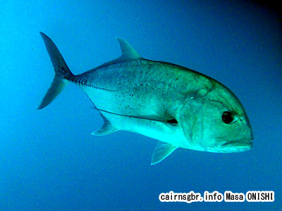 ロウニンアジ/Caranx ignobilis/Giant trevally