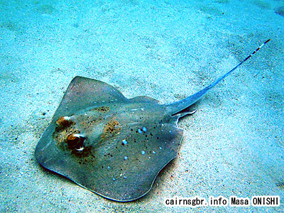 ヤッコエイ/Dasyatis kuhli/Blue-spotted Stingray