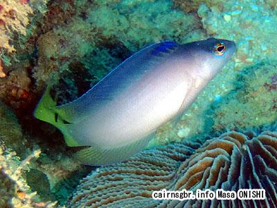 セイルフィンドティバック/Oxycercichthys veliferus/sailfin dottyback