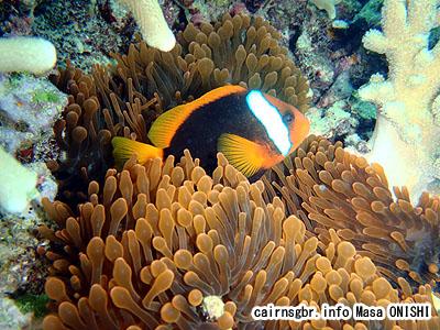 レッドアンドブラックアネモネフィッシュ/Amphiprion melanopus/Red and black anemonefish