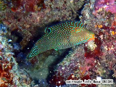 パプアン・トビー/Canthigaster papua/Papuan toby