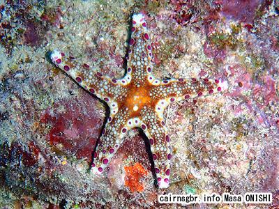 ヒトデ/starfish