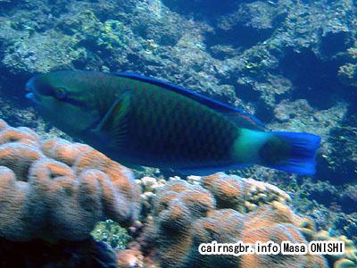 ハゲブダイ/Scarussordidus/Bullethead Parrotfish