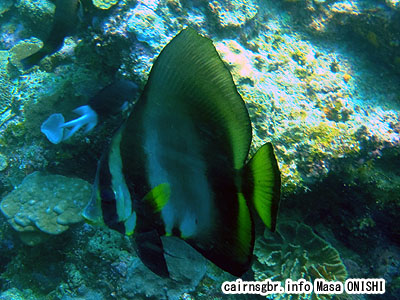 アカククリ/Platax pinnatus/Dusky batfish、Long finned batfish、Pinnate spadefish