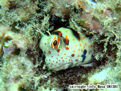 モンツキカエルウオ/Istiblennius chrysospilos/Red-spotted blenny
