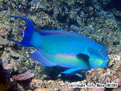 ナンヨウブダイ/Chlorurus microrhinos/Steephead parrotfish