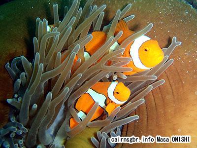 クラウンアネモネフィッシュ/Amphiprion percula/Clown anemonefish