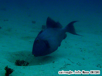 イソモンガラ/Pseudobalistes fuscus/Yellowspotted triggerfish
