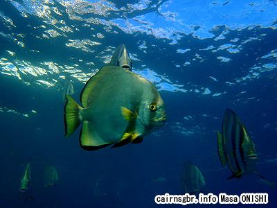 ツバメウオ/Platax teira/Longfin batfish