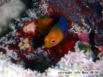 ファイアーテールドティバック/Pseudochromis flammicauda/Firetail dottyback