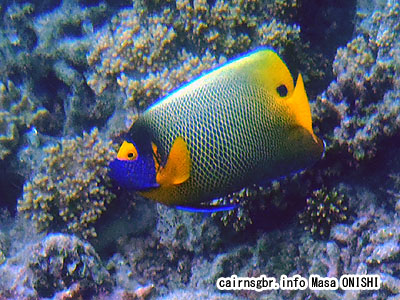 アデヤッコ/Pomacanthus xanthometopon/Blue-face Angelfish,Blue faced Angelfish
