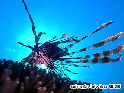 ハナミノカサゴ/Pterois volitans/Red lionfish