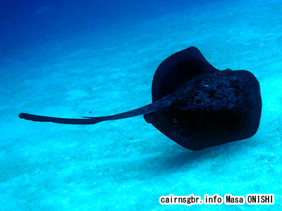 マダラエイ/Taeniura meyeni/Blotched fantail ray , Speckled stingray