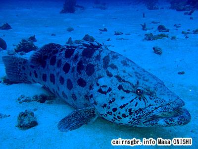 カスリハタ/Epinephelus tukula/Potato Grouper Potato cod