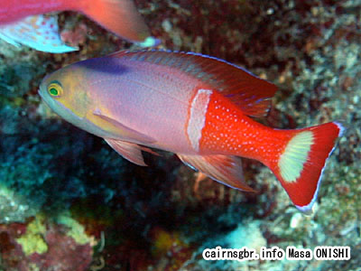 ペインティッドアンティアス/Pseudanthias pictilis/Painted anthias,Pictilis Anthias