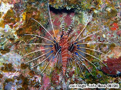 ネッタイミノカサゴ/Pterois natennata/Spotfin Lionfish