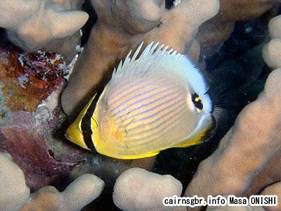 ミスジチョウチョウウオ/Chaetodon trifasciatus/Oval butterflyfish