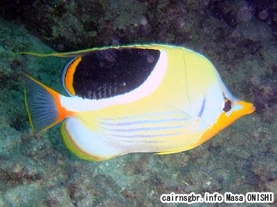 セグロチョウチョウウオ/Chaetodon ephippium/Saddled Butterflyfish