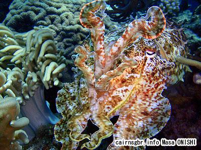 コブシメ/Sepia latimanus/Giant cuttlefish
