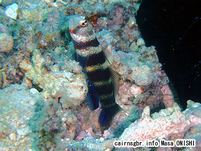 クビアカハゼ/Amblyeleotris wheeleri/Gorgeous shrimp goby