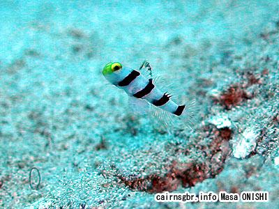 ネジリンボウ / Stonogobiops xanthorhinica / Yellownose prawn-goby