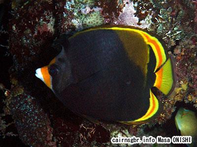 ブラックバタフライフィッシュ/Chaetodon flavirostris/Black butterflyfish、Dusky butterflyfish