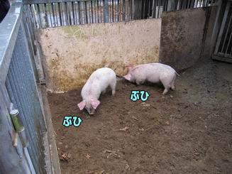 子豚のレースは雨で中止でした(TT)