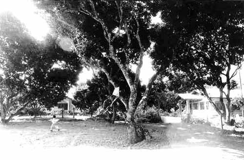 みちくさ50号 リンチーの木