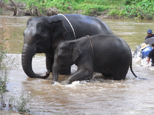 はやく陸に上がろうと必死の象たち!