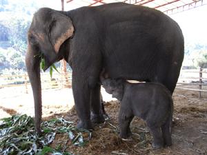 母乳ですくすく育っている小象マリ