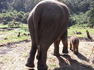 チェーンで繋がなくても母象から離れません。