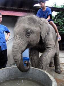 山から下りてきて水浴びするプラチョーク。象使いたちが交代でお世話をしている。