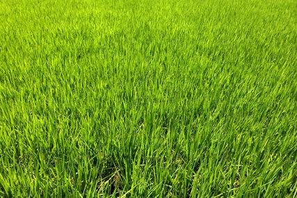 義母宅付近の稲
