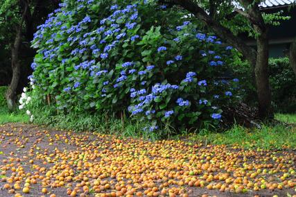 紫陽花と梅と電灯