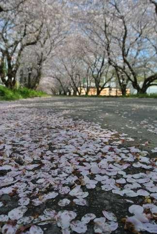 20130403_岩脇桜の馬場1