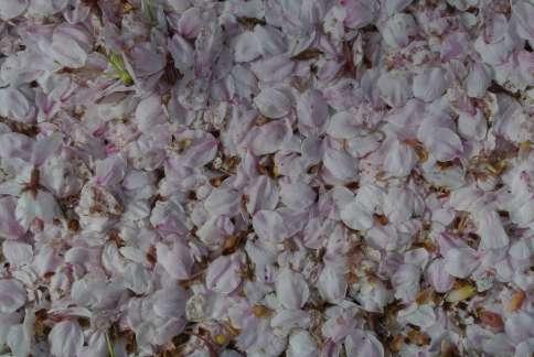 20130403_岩脇桜の馬場2
