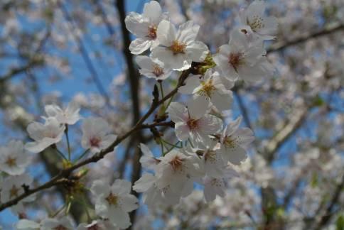 20130403_岩脇桜の馬場3