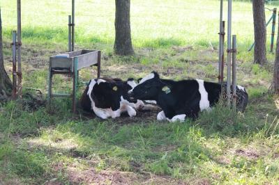仔牛もグッタリ