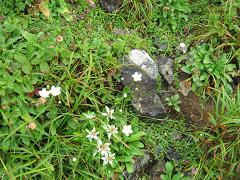 早池峰の植物たち180817