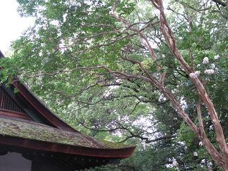 下御霊神社のサルスベリ200906