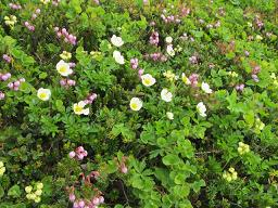 石狩岳の花220715