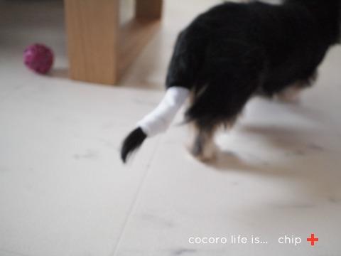 チップ、しっぽ骨折しました。