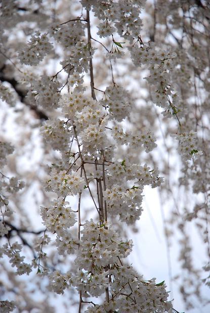 圓明寺のしだれ桜3