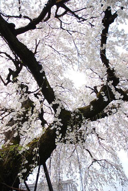 圓明寺のしだれ桜2