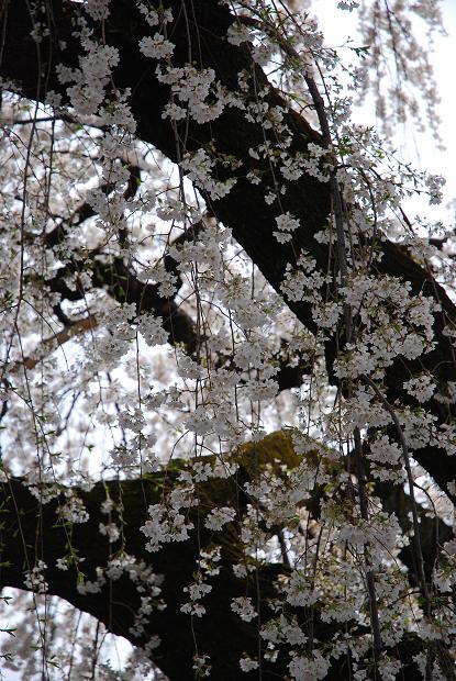 圓明寺のしだれ桜4